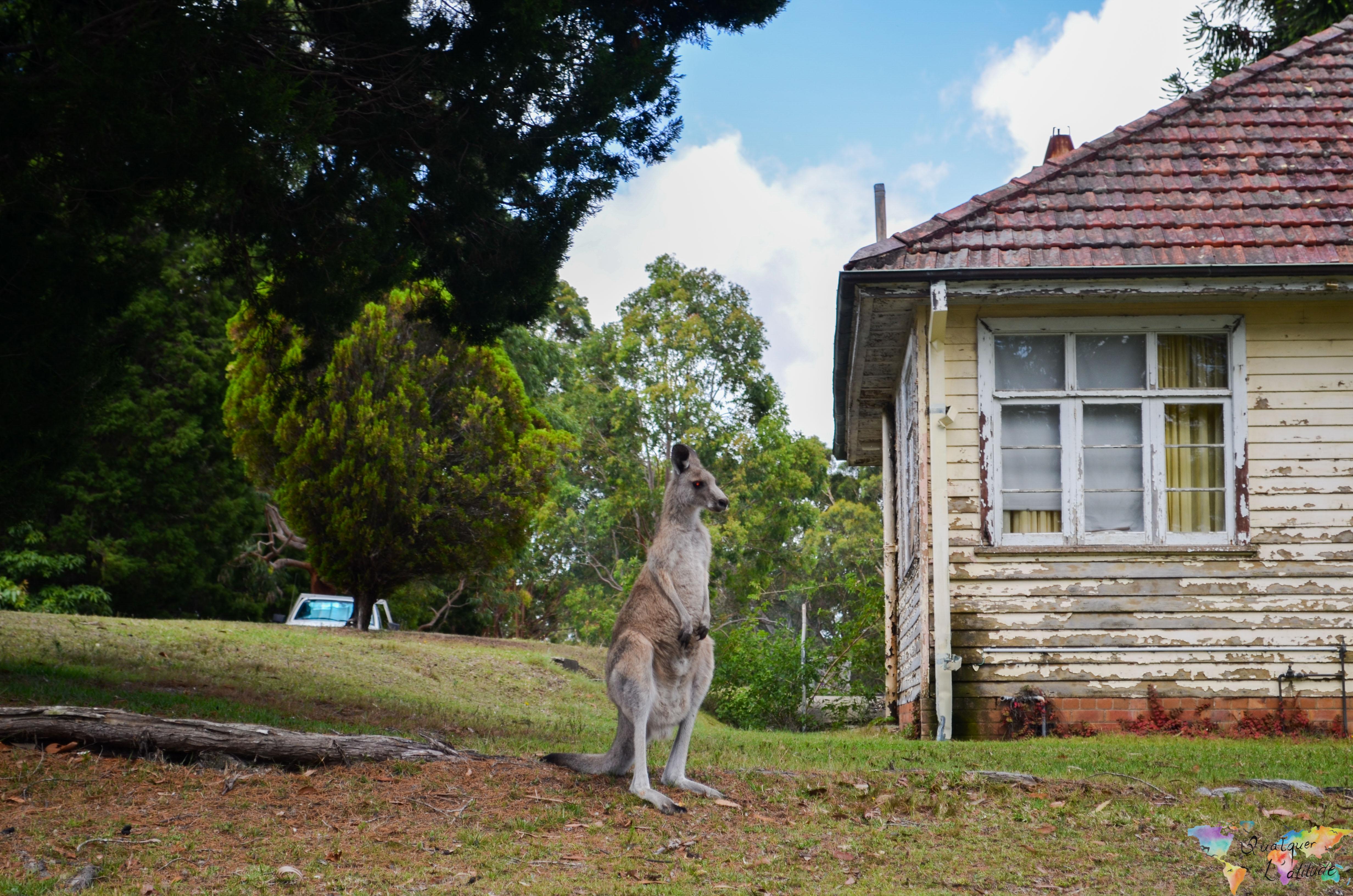 Austrália: Brincando com cangurus