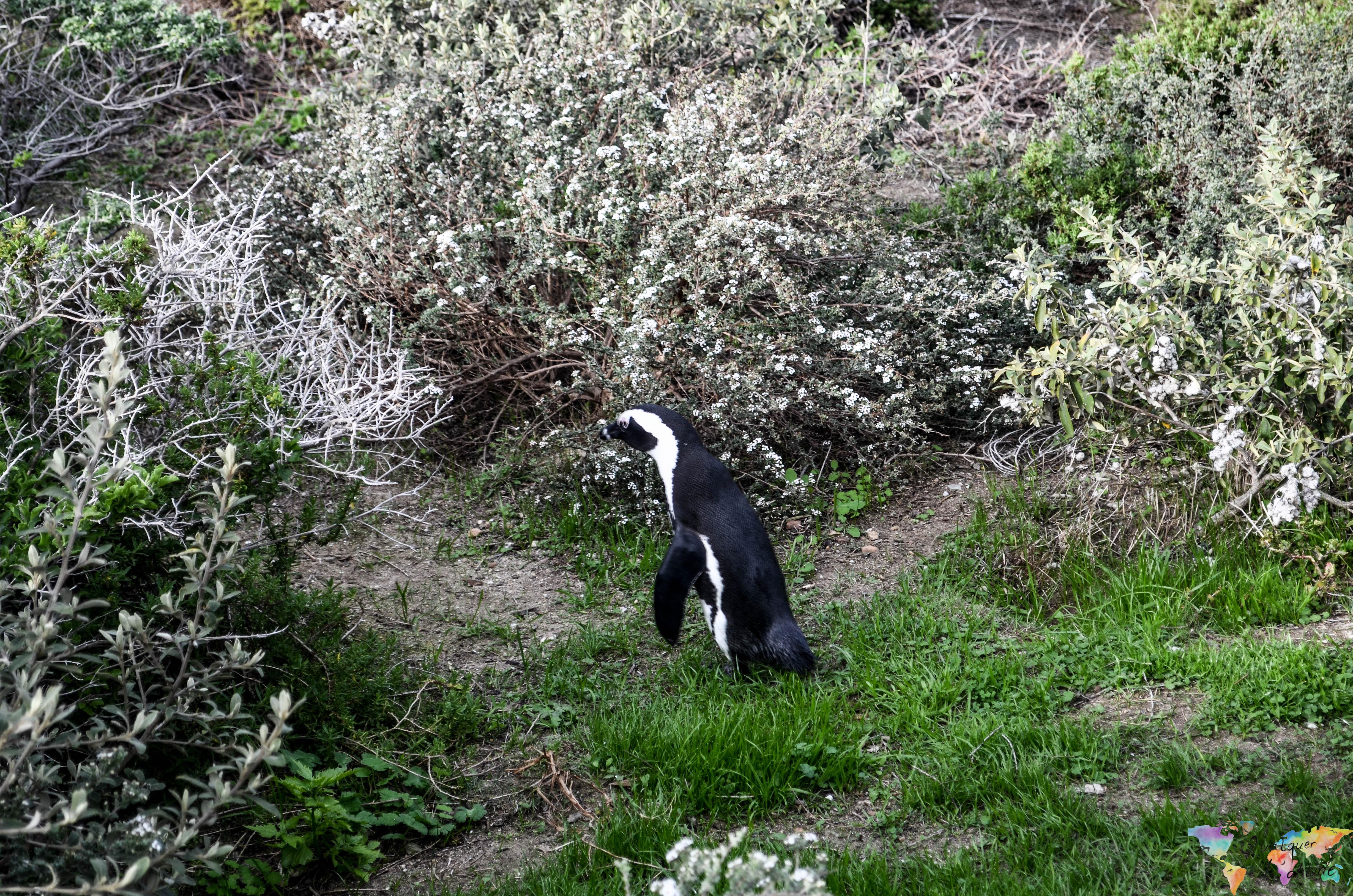 pinguins na cidade do Cabo